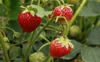 strawberries-55303_1280